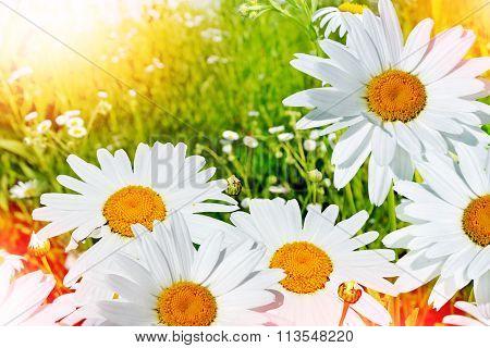 Wildflowers Daisies. Summer Landscape. Delicate Spring Flowers