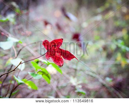 Single Red Autumn Leaf