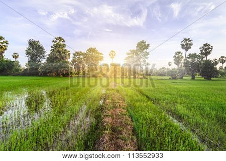 Rice Field With Palm Tree Background In Morning, Phetchaburi Thailand.