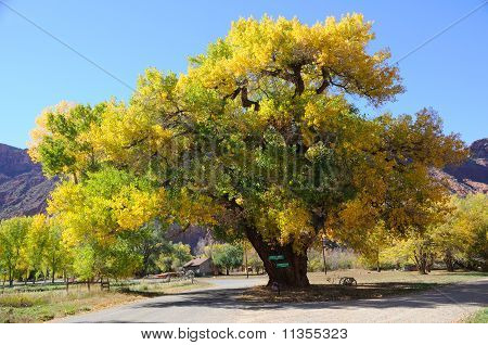 Beautiful Cottonwood Tree in Autumn