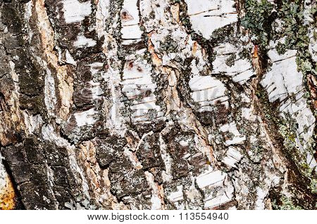 Poplar Bark Background.