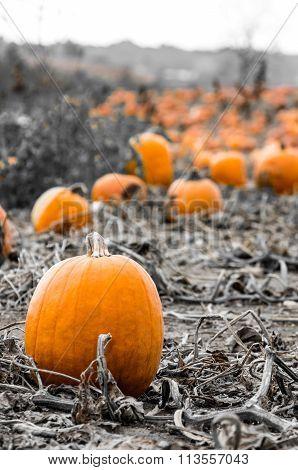 Popping Pumpkin Patch