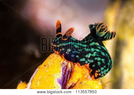 Nembrotha Kubaryana, Nudibranch, Sea Slug