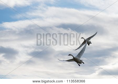 2 Trumpeter Swans (cygnus Buccinator) In Flight With A Cloudy Sky
