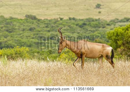 Beautiful Red Hartebeest Walking Through Dry Grass
