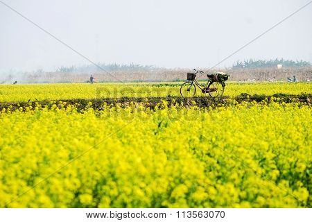 Yellow canola or rapeseed