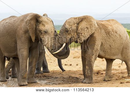 Two African Elephants Playing At A Waterhole
