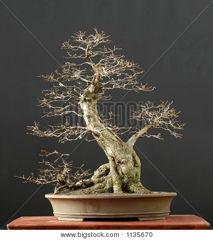 European Hornbeam Bonsai, Winter Silhouette