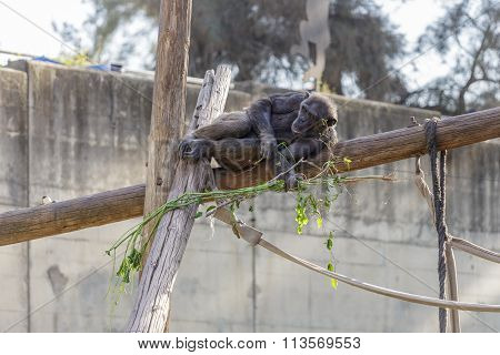 Brown Chimpanzee