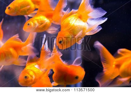 Red Parrot Cichlid