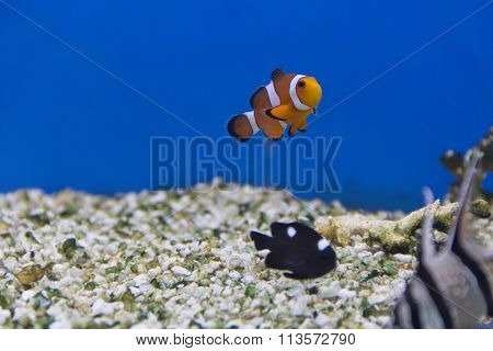 Clown Fish And Dascyllus Trimaculatus Domino