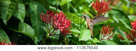 Orange flying hummingbird and green bush with red flower