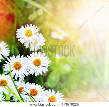 Wildflowers Daisies
