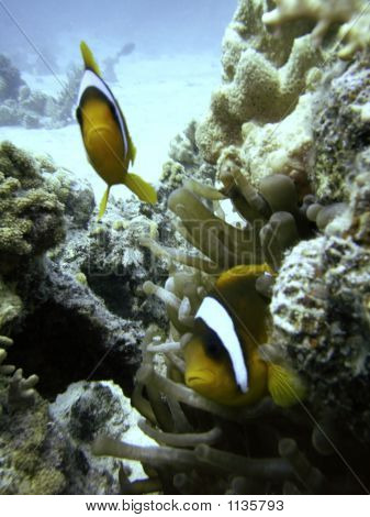 Clark'S Anemonefish With Sea Anemone