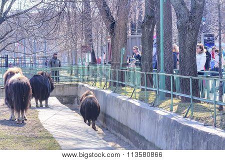 The Aviary Muskox