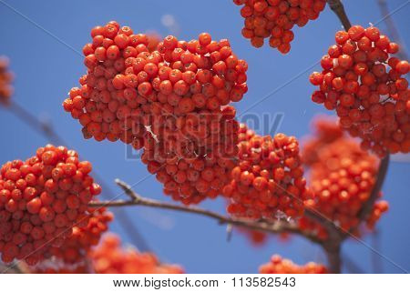 Rowan tree bunches red berry closeup