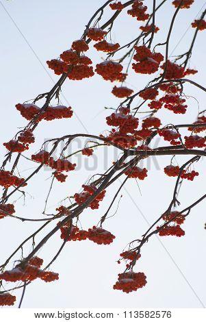Rowan tree red bunches of rowan berries