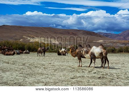 Camels In The Steppe Landscape