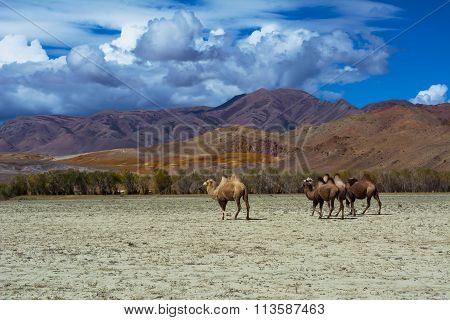Camel Herd In Steppe Landscape