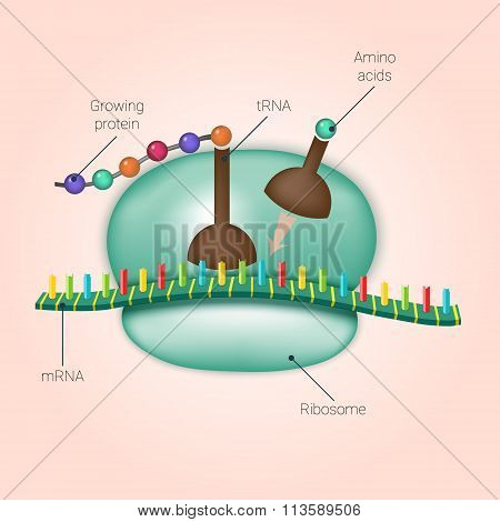 Biosynthesis Of Protein On Ribosome In Vector