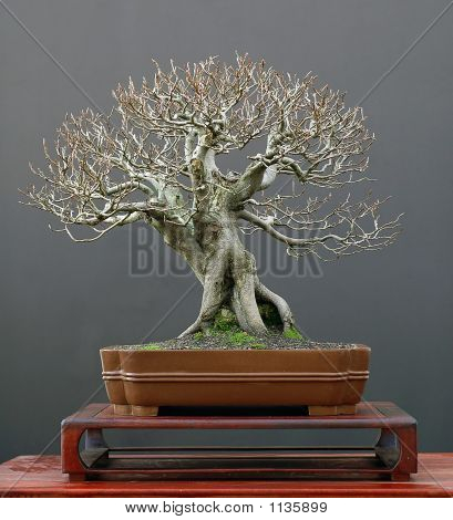 European Beech Bonsai In Winter