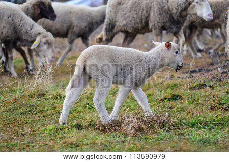 Cute Playfull Lamb