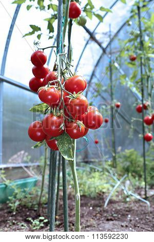 Red Tomatoes Ripening On The Bush In A Greenhouse