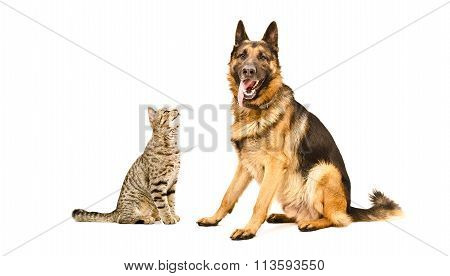 German Shepherd  and funny cat Scottish Straight
