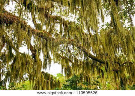Trees Overhanging With Spanish Moss In Southern Usa.