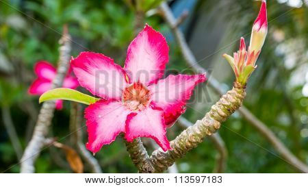 Beautiful Pink Azalea Flowers Tropical Flowers. Desert Roses In The Garden Thailand, Phuket