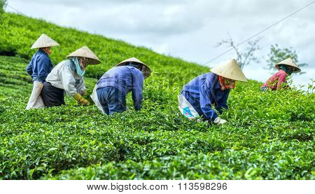 Farmers picking tea on tea plantation
