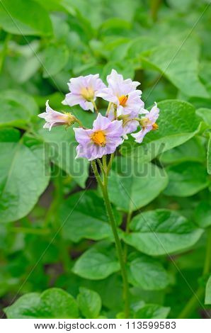 The Flower Of Potato Plant