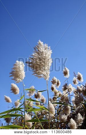 Common Reed (lat. Phragmites)