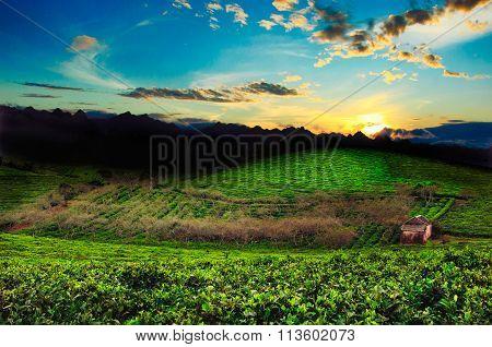 Beauty fresh green tea in Mocchau highland, Vietnam