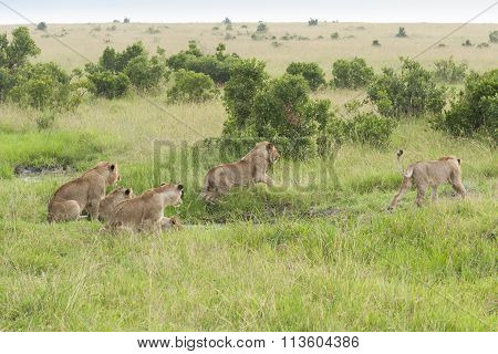 Lions Pride in African Savannah