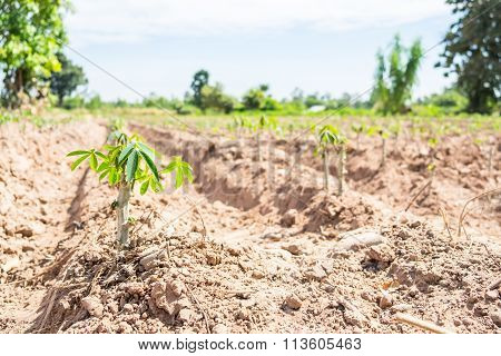 Small Cassava Tree