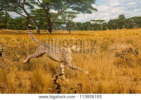 Cheetah In Grasslands