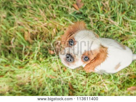 Spaniel Puppy Closeup