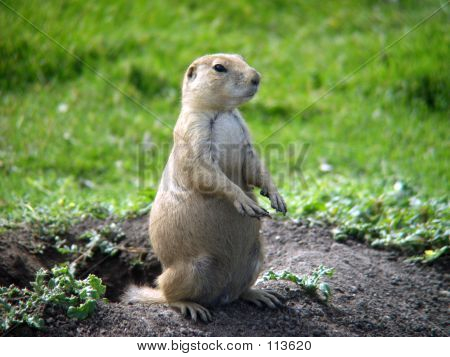 Prairie Dog Watching