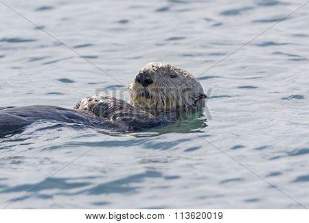 Sea Otter Close-up