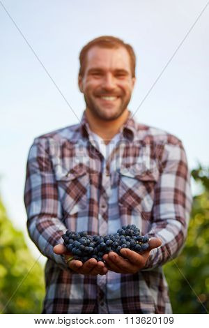 Freshly Harvested Blue Grapes In The Hands Of Farmers, Toned