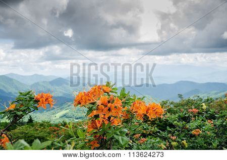 Flame Azalea With Ridge In Background