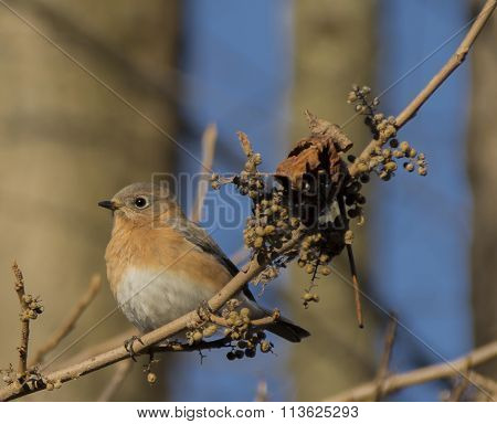 Eastern Bluebird with Winter Forage