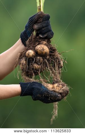 Digging Bush Potato In Hands, Closeup