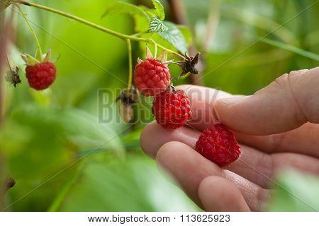 Hand Picking Raspberries In The Garden