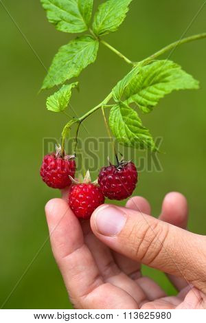 Hand With Ripe Berries Of Raspberries