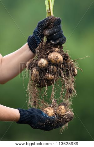 Hands Holding Digging Bush Potato, Closeup