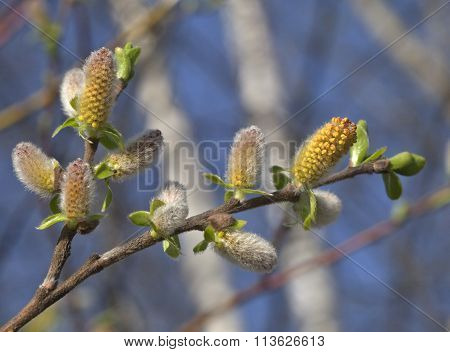 Pussy-willow in the spring