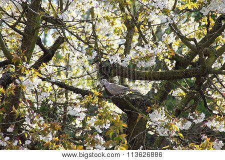 Pigeon On Bloomming Tree