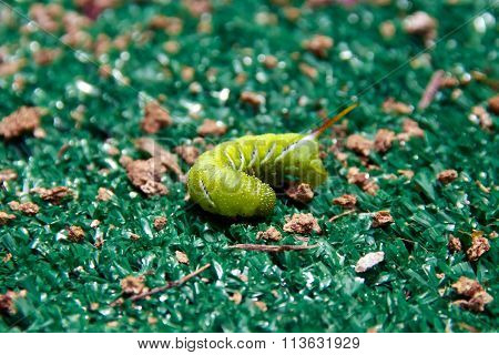 Curled Up Tomato Worm